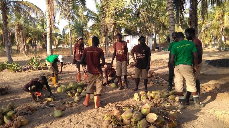 Préparation des noix de cocotiers pour la mise en germoirs