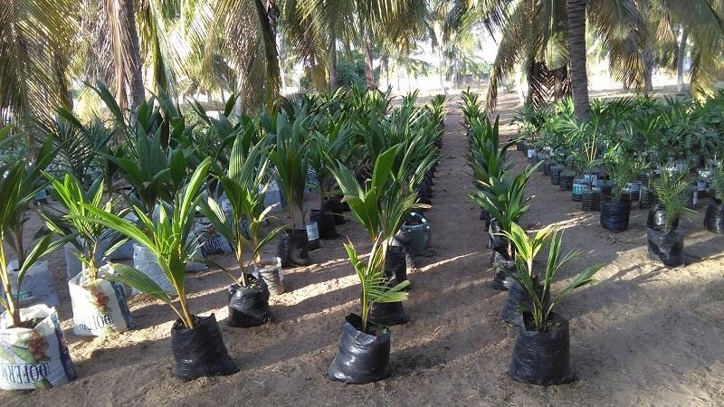 Les pépinières de cocotiers