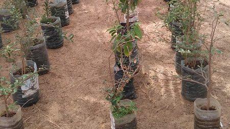 Pépinière de carosoliers et de pommiers cannelle