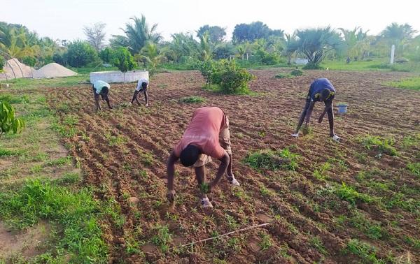 Désherbage du champ d'arachides à Kaydar 2